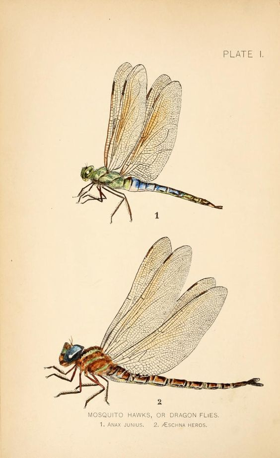 """Mosquito hawks, or dragonflies."" Dragon flies vs. mosquitoes. 1890. Frontispiece Friday."