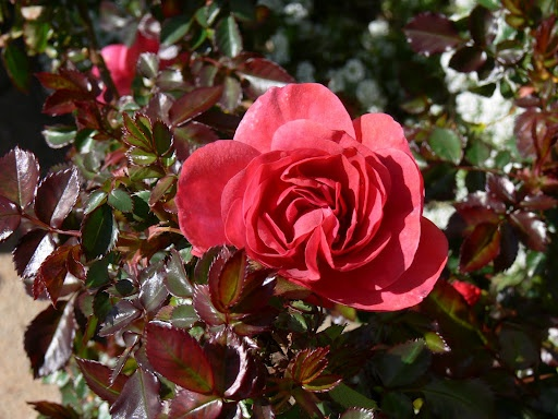 Winter roses become spring bloomers. Bernard Mander of Richmond.: Winter Rose