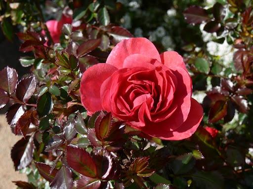 Winter roses become spring bloomers. Bernard Mander of Richmond.