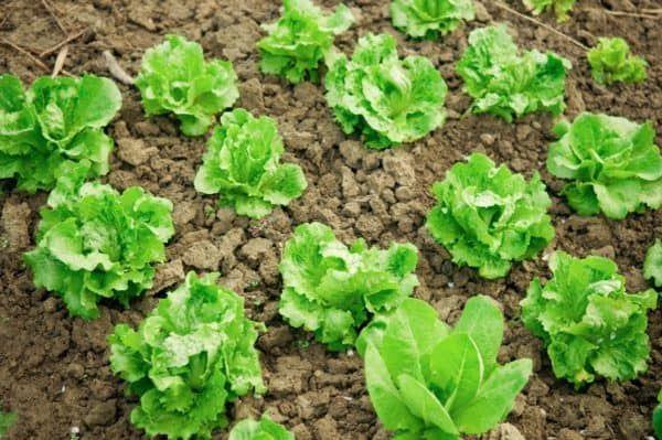 17 Vegetables You Should Plant Together Companion Gardening