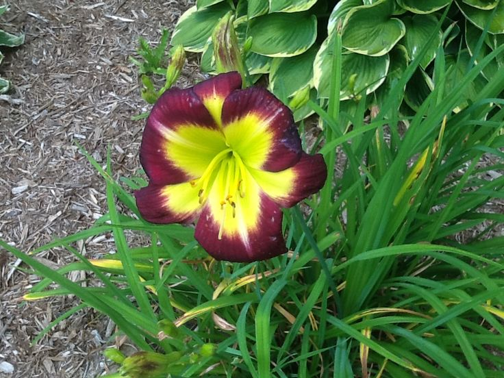 Night Beacon Day Lily, brought from PEI in 2003.