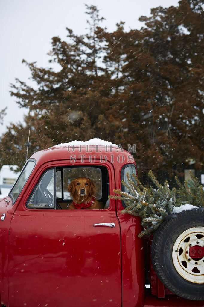 Stock Photo Golden retriever sitting inside truck with Christmas tree : available to purchase at GillhamStudios.com #hallmark