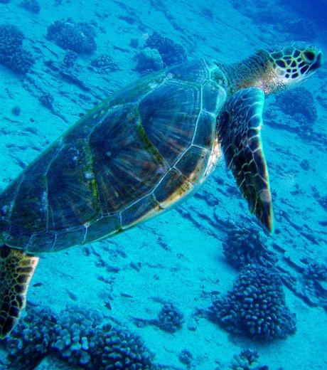 La tortue verte est présente dans les eaux tropicales de tous les océans (crédit : Nemo's great uncle - Flickr)