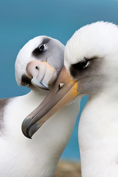 Albatrosses ~ Wide winged and long lived (up to 50 yrs.) albatrosses are rarely seen on land, preferring to stay out on the ocean except to mate and raise their young. They're one of very few species of birds that drink salt water.