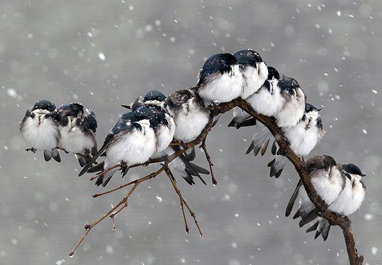 Família de passarinhos se espreme em galho de árvore para enfrentar nevasca (David Duprey/Associated Press)