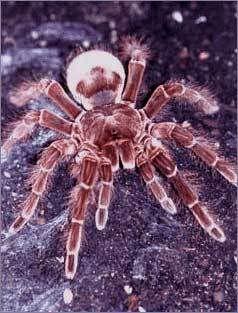 A maior aranha do mundo