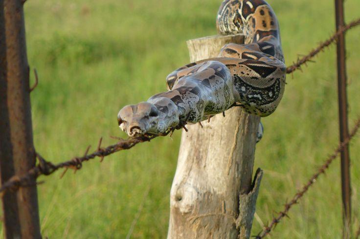 Serpent sado-maso