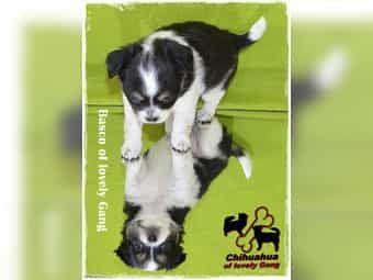 Typvoller Chihuahua Bub ist auf der Suche nach seinem zu Hause auf LEBENSZEIT