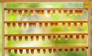 Ramka z matecznikami z których pozyskujemy mleczko pszczele.