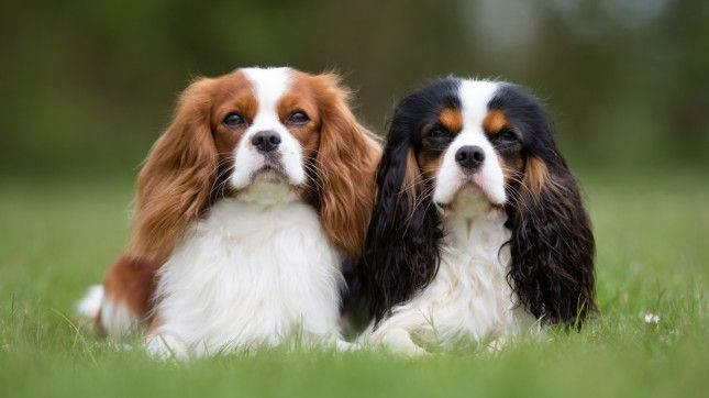36 Cavalier King Charles Spaniel Median Lifespan 10 0 Years The Shortest And Longest Living Dog Bree Cavalier King Charles Dog Dog Breeds King Charles Dog