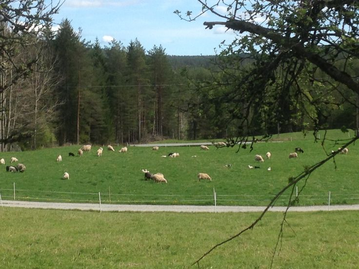 Our sheeps out in the field.