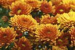 Deadheading mums for futher bloom. Mums are a beginning gardener's best friend.  They bear beautiful blooms over and over with attention to their very basic care.  Deadheading mums are a must for those gorgeous blooms to continue, and it is a quick procedure.