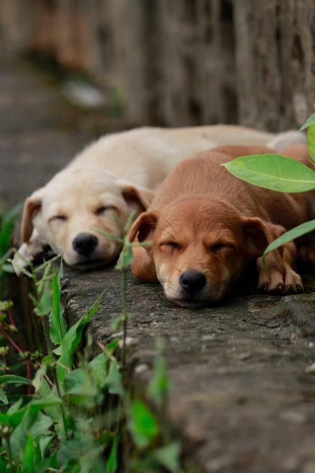 How Do Dogs Sleep Sleeping Dogs Cute Dogs Breeds Labrador Dog