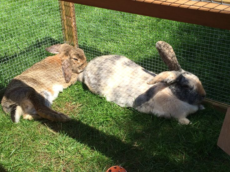 The bunnies,hop and flopsy, lying outside.