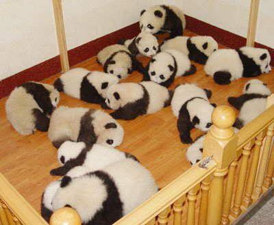 Imagen ositos pandas bebés en corral  [13-7-17]