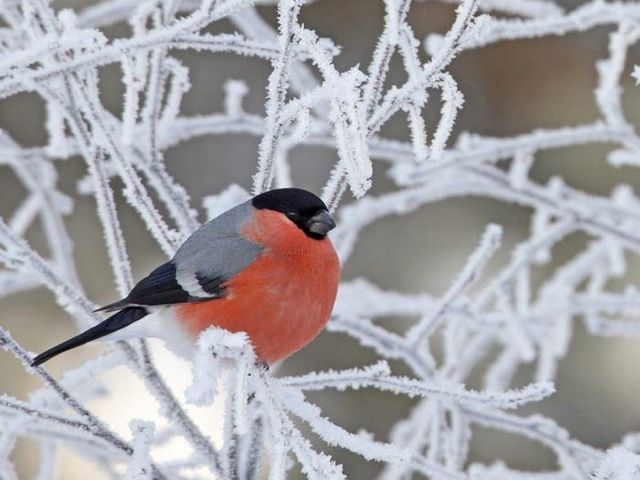 A beautiful bird perched on snow dusted branches.