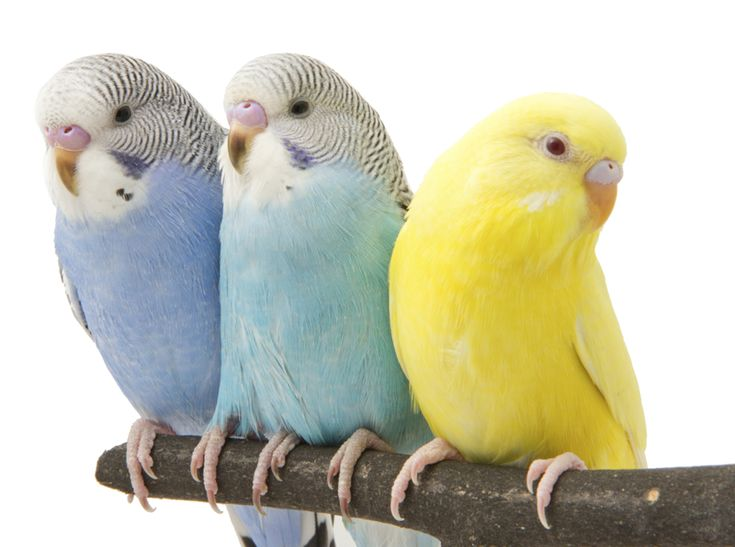 Parakeets ~ why the budgerigar is the perfect pet ✿⊱╮