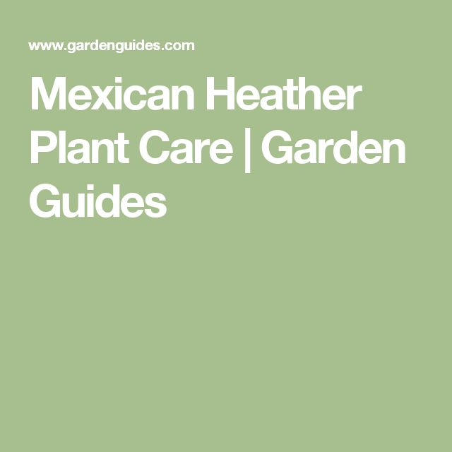 Mexican Heather Plant Care |  Garden Guides
