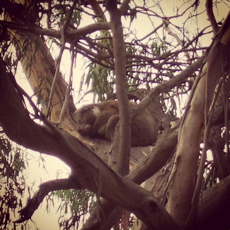 Koala, Phillip Island #viaggioliberamente #koala #phillipisland #australia