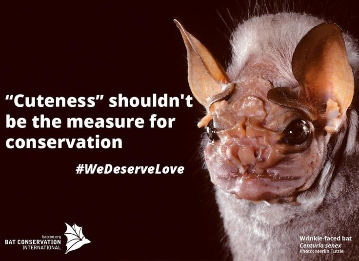 """""""Cuteness"""" shouldn't be the measure for #conservation.  UGLY doesn't mean UN-important! #bats #WeDeserveLove"""