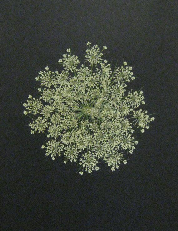 Pressed Flower Picture No 190  Queen Annes by KatysDriedFlowerArt, $15.00