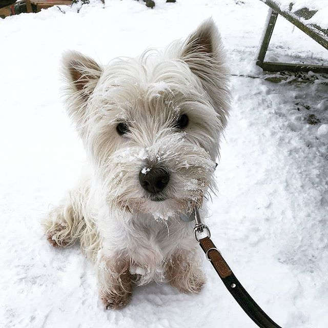 14 Interesting Facts About The West Highland Terrier Petpress In