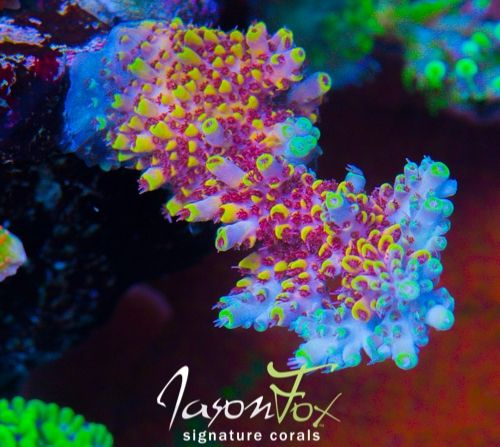 Jason Fox Signature Corals WWC After Party Acro