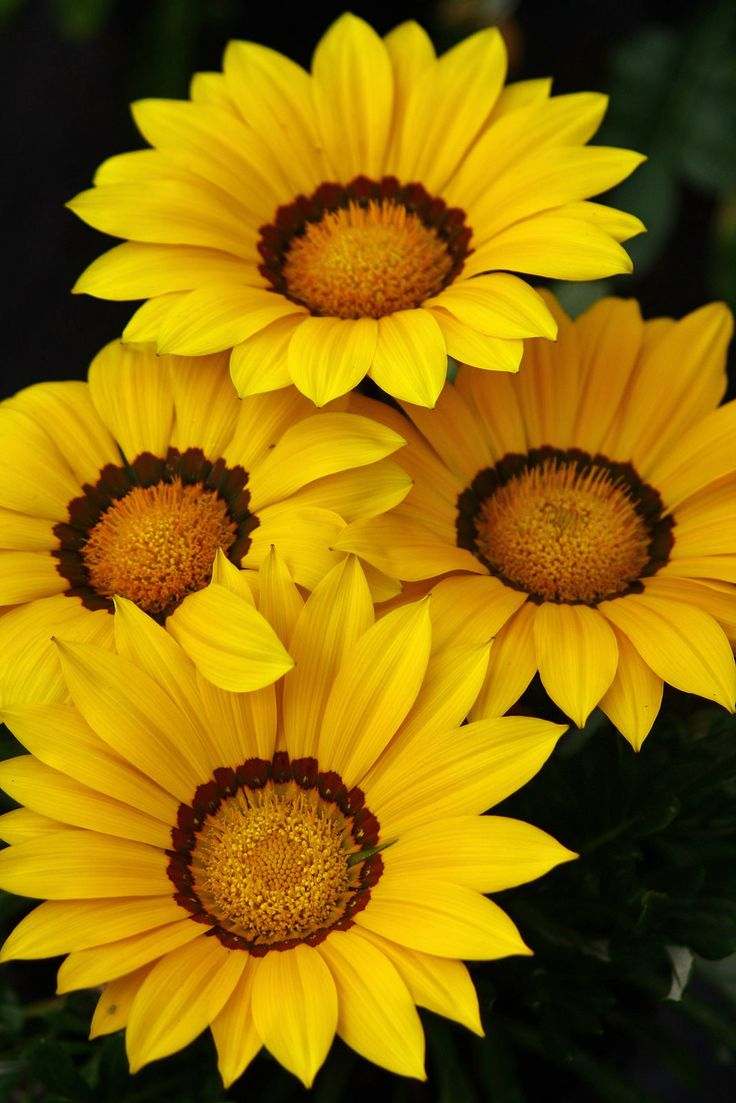 384 best yellow and orange flowers images on pinterest flowers gazania dhlflorist Image collections