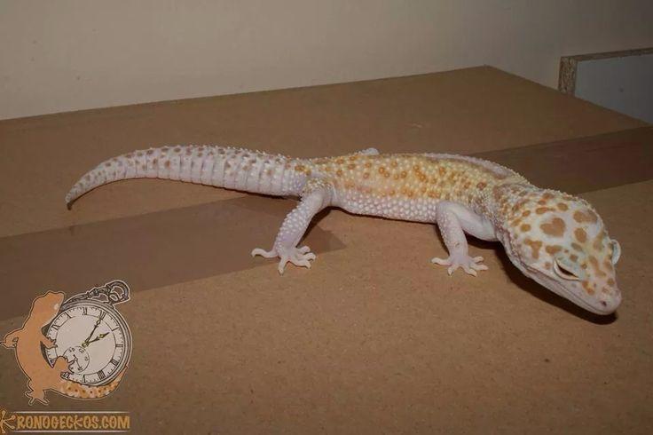 gecko leopardo Dreamsickle het blizzard