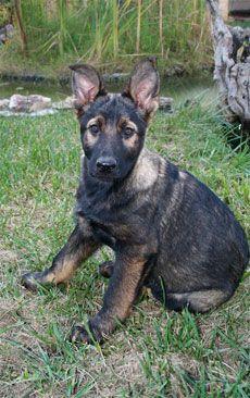 Black Sable German Shepherd | Black Sable German Shepherd : DDR German Shepherds : California German ...