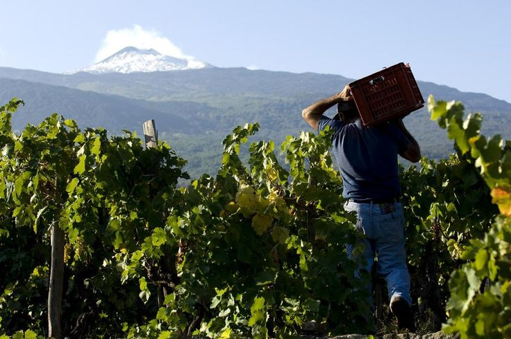 Sicily. Vineyards and Wineries - Etna