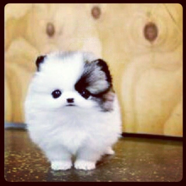 Teacup Pomeranians. These dogs and the CuppyCake song go hand in hand…