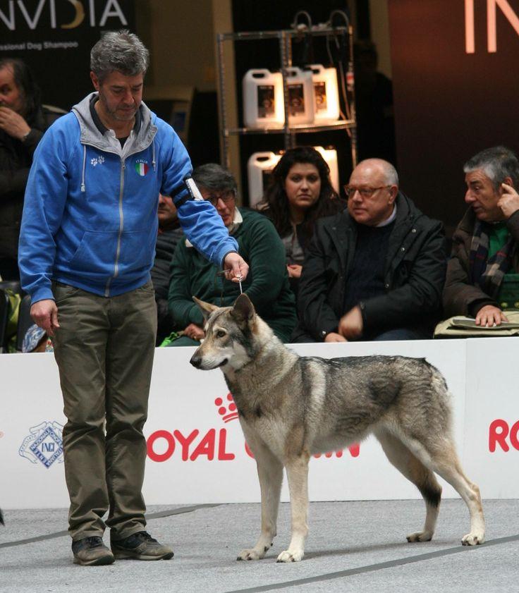Saphira Bjartskular di Fossombrone vince alla Expo' Internazionale Canina di Pistoia 2017!! Con Michele Masini 🏆🐺🐾