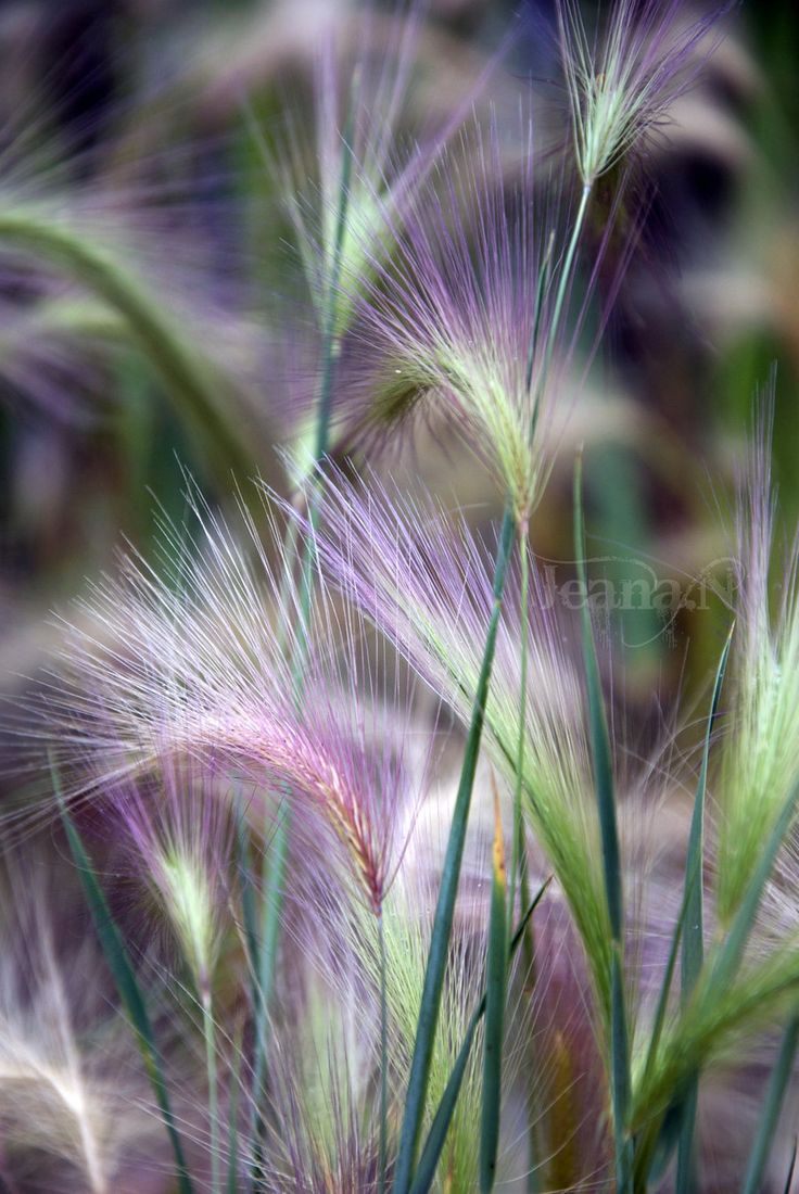 Softened Heights by =Jeana-M-PhotographyTwo Colors Photography, Grassesground Covers, Jeana M Photography, Nature, Green Purple, Softener Heights, Fountain Grass, Flower, Misty Grass