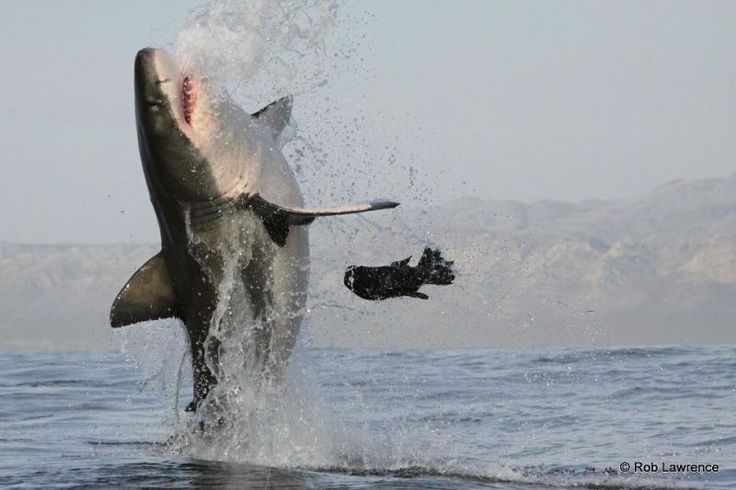 African Shark Eco-Charters is a dynamic, professional eco-conservation great white shark diving company that operates from Simons Town. See great whites breach! http://wikivillage.co.za/african-shark-eco-charters