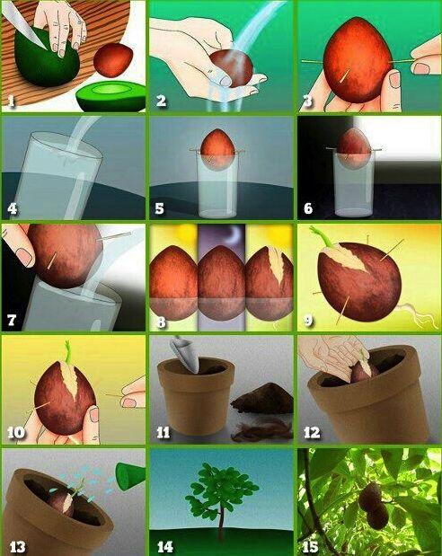 die besten 25 avocado z chten ideen auf pinterest. Black Bedroom Furniture Sets. Home Design Ideas