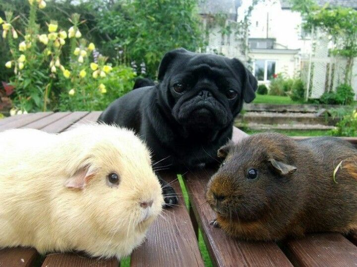 Something is wrong with these pugs