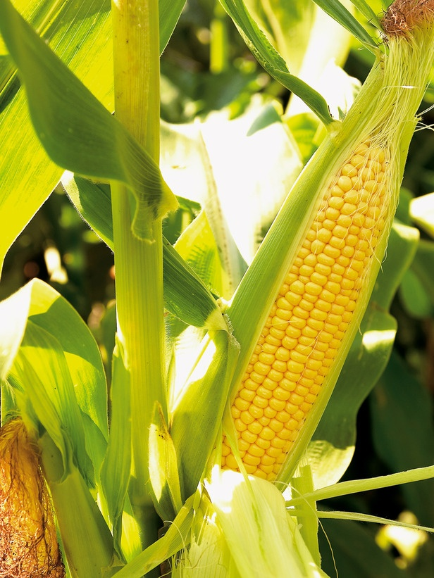 Superior Sweet Corn