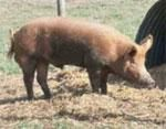 Try these pigs even help clean up pastures