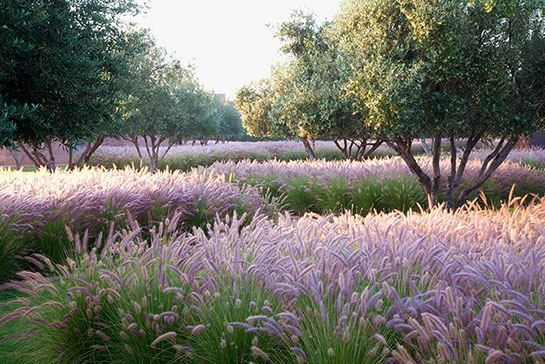 Rooms With a View | Moroccan olive grove under planted with fountain grass by Luciano Giubbilei