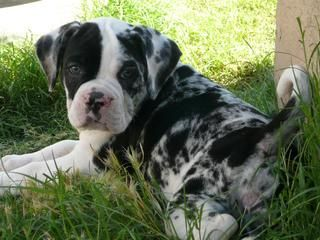 Harlow the Alapaha Blue Blood Bulldog puppy at 8 weeks old, photo courtesy of Knuckle Up Bulldogs