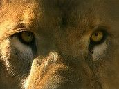 Filmpje over de leeuw - De koning der dieren