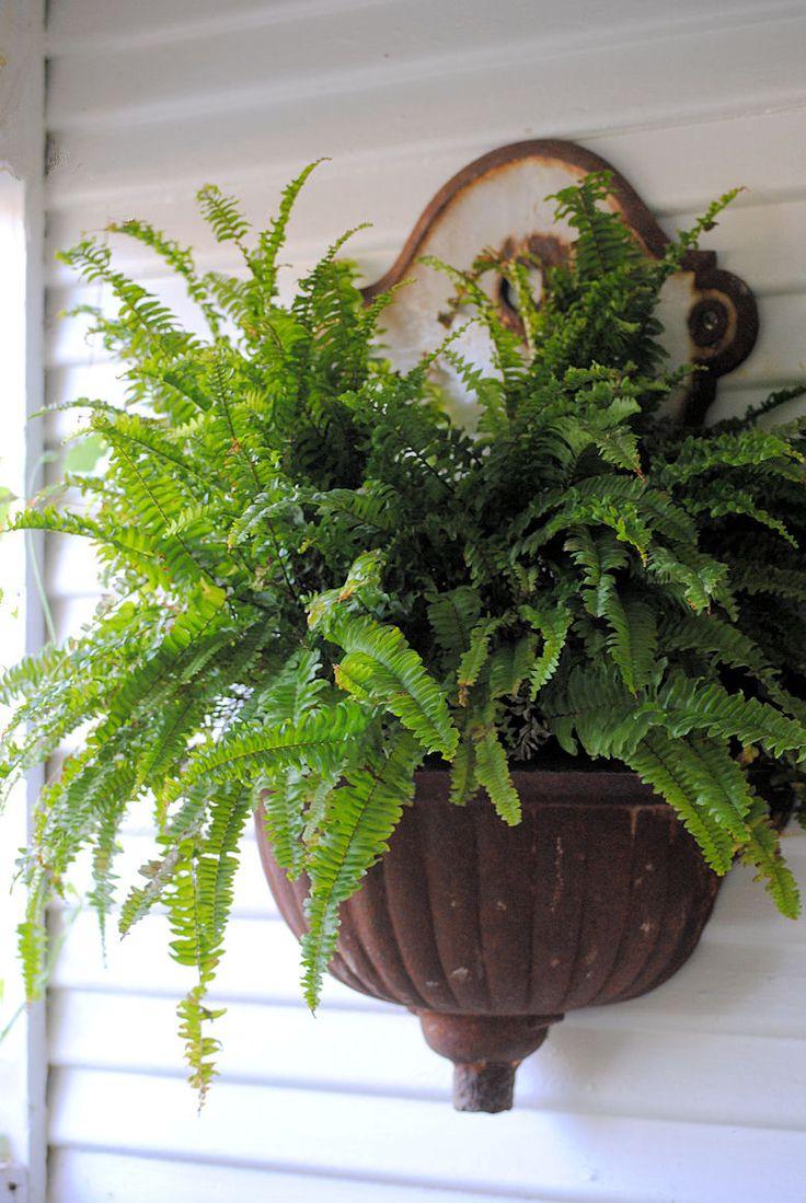 fern… so pretty at an entrance or on a garden gate~