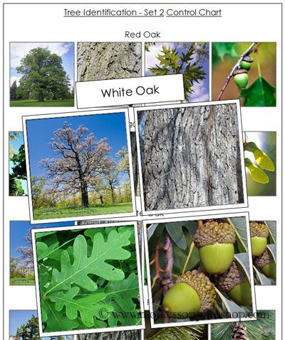 Tree Identification Cards (Image from Montessori Print Shop)