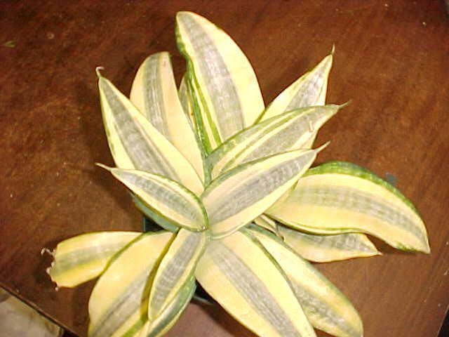 59 best images about Sansevieria trifasciata Cultivars on ...