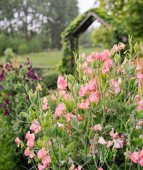 """""""Sweet peas smell as pretty as they look.""""  Traditional Home"""