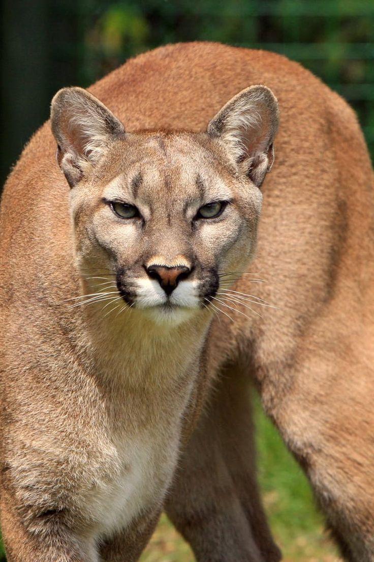 Cougar puma