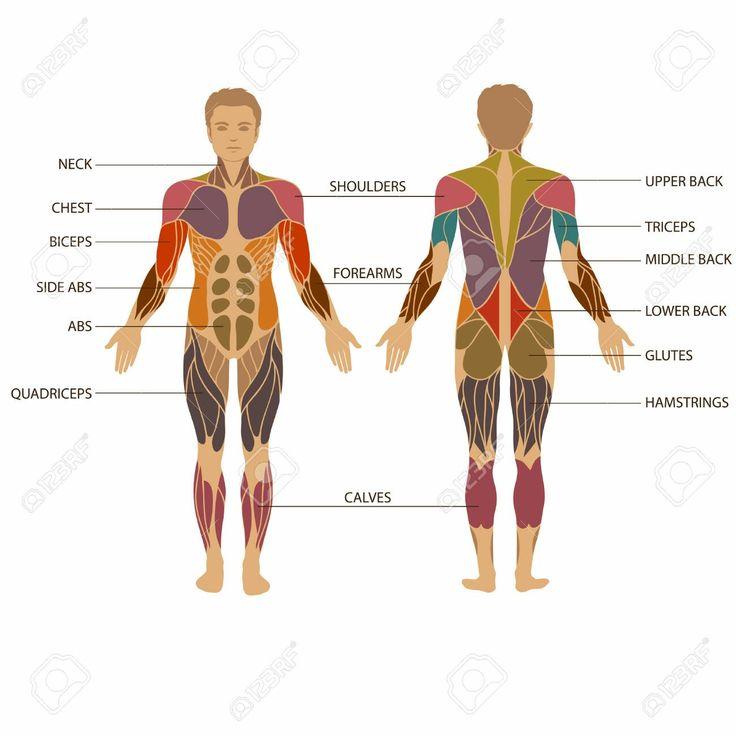 13 besten Muskel Anatomie Bilder auf Pinterest | Anatomie, Muskel ...