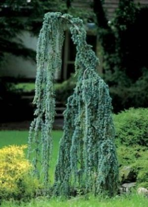 70 Best Weeping Evergreen Trees Images On Pinterest 400 x 300