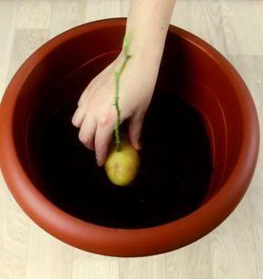 Il met une rose dans une pomme de terre et la plante. Une semaine plus tard, ce qui pousse est véritablement unique en son genre.